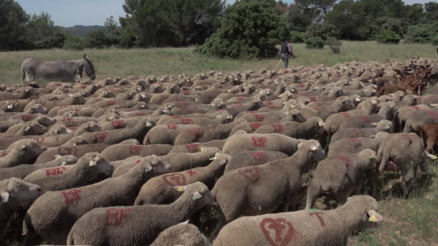 vidéos et rushes de tracking shot transhumance sheeps - bétail