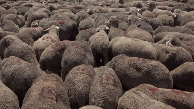 tracking shot transhumance sheeps - conceptual symbol stock videos and b-roll footage