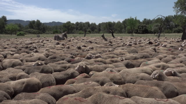 Tracking shot Transhumance Sheeps