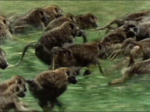 stockvideo's en b-roll-footage met 1984 tracking shot troop of baboons running / large baboon looking back / serengeti national park / audio - op hol slaan