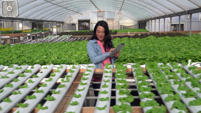 WS Tracking Shot Woman working in a hydroponic farm