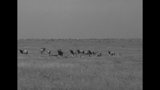 vidéos et rushes de tracking shots elizabeth's woodie station wagon thru high grass, wildebeest run past / zebras run past the woodie station wagon / herd of zebras in... - safari
