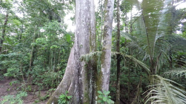 Tracking up the trunk of a rainforest tree festooned with aerial roots in the rainforest, Peru