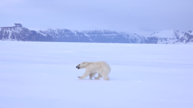 tracking view of a polar bear running on the ice floe, admiralty inlet, baffin island, canada. - male animal stock videos & royalty-free footage