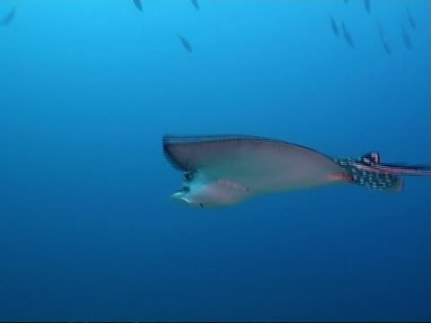 vídeos y material grabado en eventos de stock de mcu tracking, white spotted eagle ray swimming over coral reef, maldives - patrones de colores