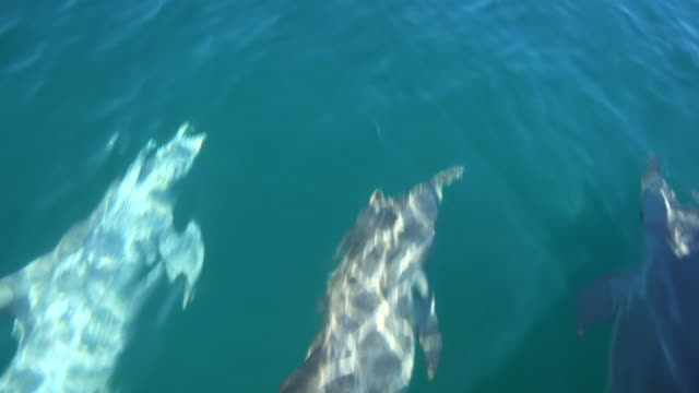 HA MS tracking with 3 Bottlenosed Dolphins swimming fast and bowriding a boat