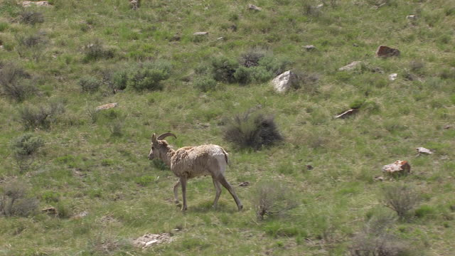Tracking With Big Horn Sheep