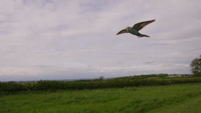 vídeos de stock, filmes e b-roll de slomo la tracking with blue budgerigar flying over open field - periquito comum