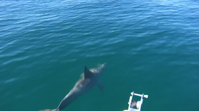 HA MS tracking with Bottlenosed Dolphin swimming fast and bowriding a boat  ZI to CU then second dolphin joins