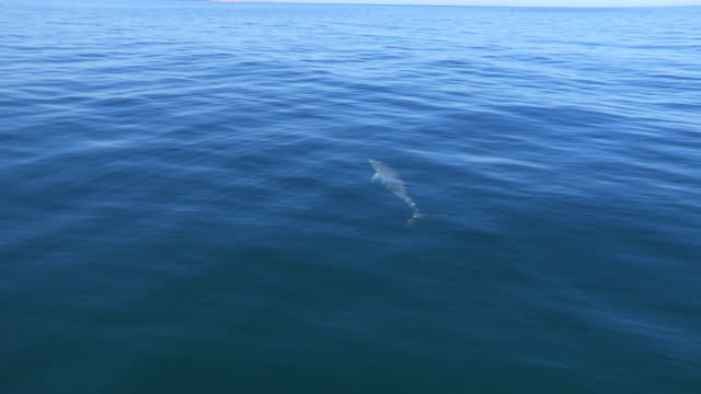 HA MS tracking with Bottlenosed Dolphin swimming just below surface then joining second dolphin