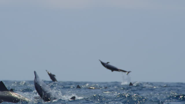 la tracking with spinner dolphin group leaping in rough sea - dolphin stock videos & royalty-free footage