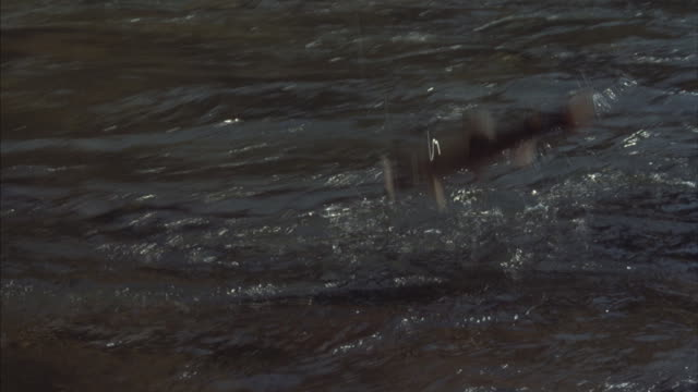 tracking-shot of a trout fighting at the end of a fishing line. - trout stock videos and b-roll footage