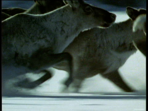 vidéos et rushes de tracks right following a herd of caribou running through deep snow - caribou