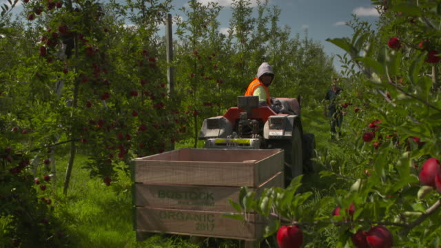 tractor being driven by worker at organic orchard - harvesting stock videos & royalty-free footage