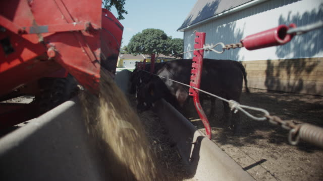 tractor drives along and dumps grain into a feed bunk at a high density cattle lot - black angus steers approach and start to eat. - 穀草点の映像素材/bロール