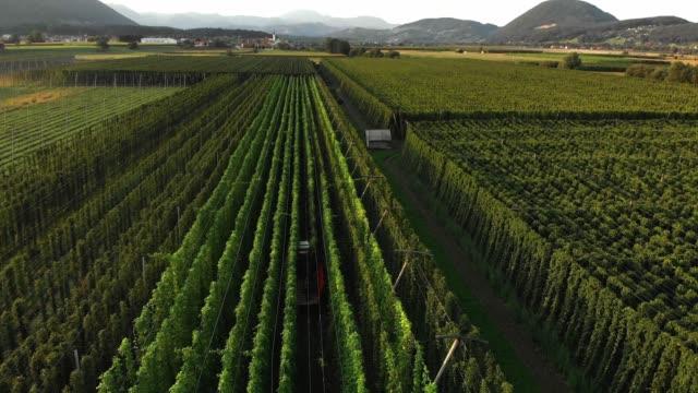 tractor hidden inside high walls of hops field - hops crop stock videos and b-roll footage