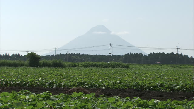 A tractor moves through sweet potato fields.