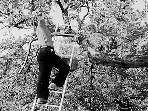 vídeos de stock e filmes b-roll de tractor moving / man picking apples / gathering apples and pumpkings / cutting corn stalks / transportating stalks on horse drawn wagon - animal doméstico