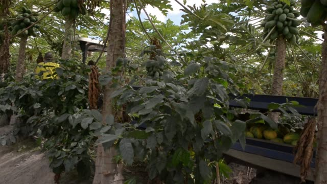 a tractor pulls a trailer filled with papaya through an orchard at the skybury coffee pty papaya plantation in the atherton tablelands queensland... - papaya stock videos & royalty-free footage