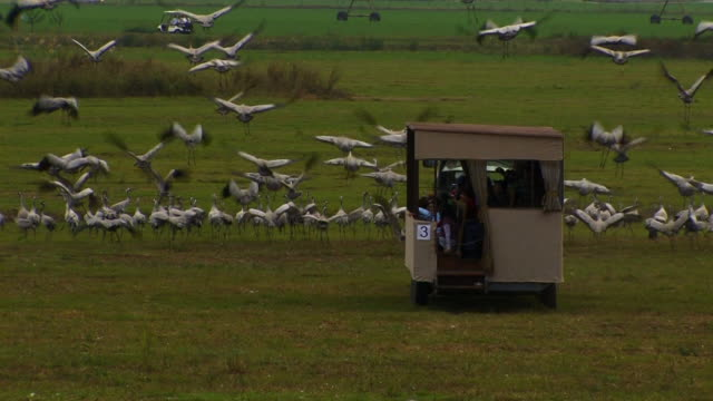 tractor towing viewing platform past common crane (grus grus) colony, scaring them off, hula valley, israel; with audio - クロヅル点の映像素材/bロール