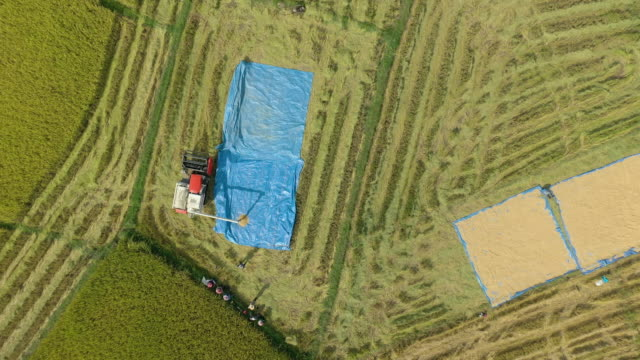 トラクターは、太陽で乾燥するための収穫から米をアンロード - 農業機械点の映像素材/bロール