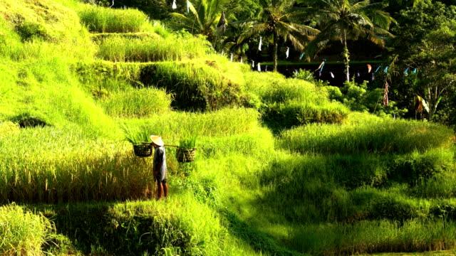 Traditional Bali rice farmer working on hillside field