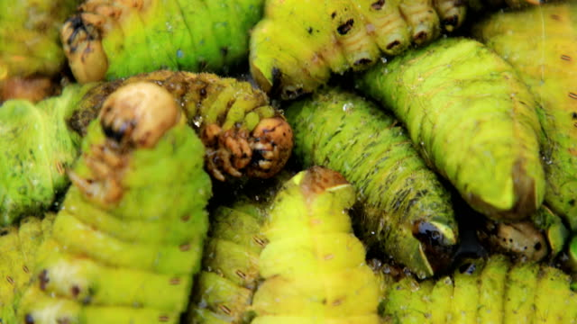 vidéos et rushes de traditional delicious green silkworm, dandong, liaoning province, china - assiette