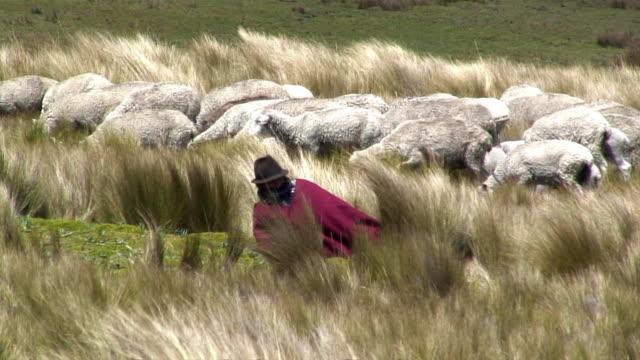 ws traditional ecuadorian shepherd with herd of sheep on grassy field / quilotoa, ecuador - ecuador stock videos & royalty-free footage