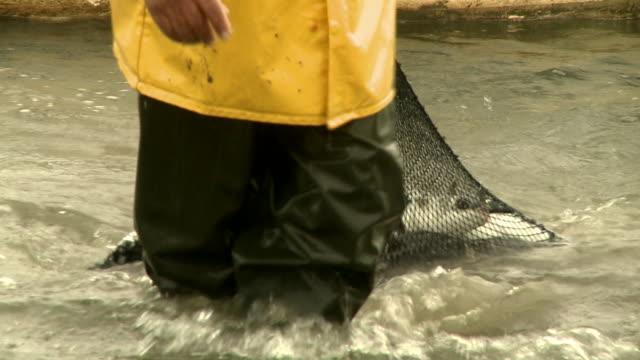 vídeos de stock, filmes e b-roll de traditional fisherman dragging full net of fish through water, laguna, brazil [brasil] - grupo mediano de animales
