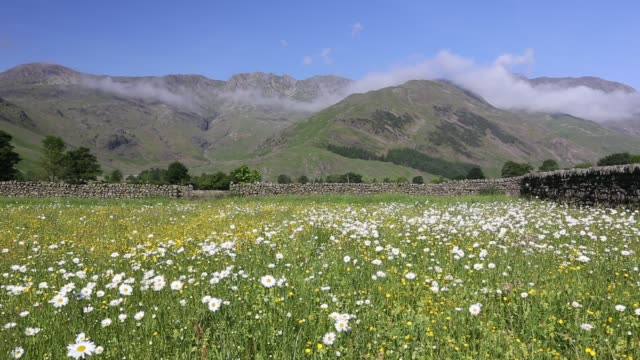 vidéos et rushes de traditional hay meadows at the head of the langdale valley, lake district, uk. - renoncule d'asie
