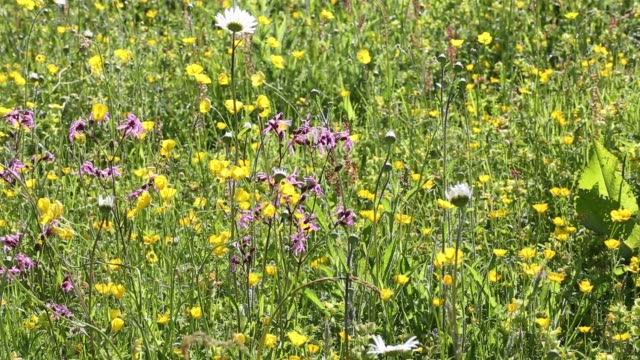 traditional hay meadows at the head of the langdale valley, lake district, uk. - ranunkel stock-videos und b-roll-filmmaterial