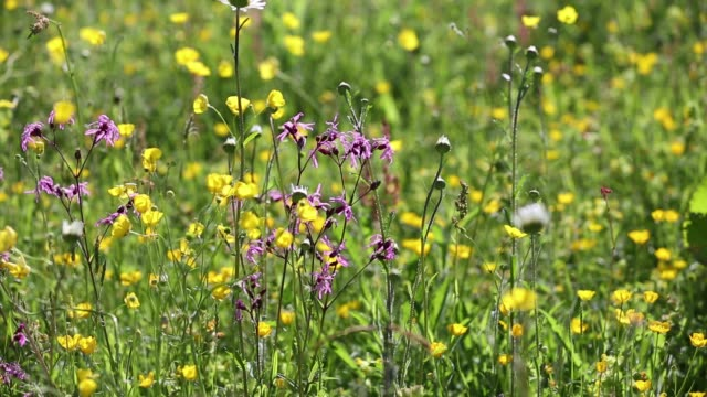 Traditional hay meadows at the head of the Langdale valley, Lake District, UK, are some of the best wild flower hay meadows left in the country. Since the second world war, Britian has lost over 95% of its traditional hay meadows, as farmers have converted