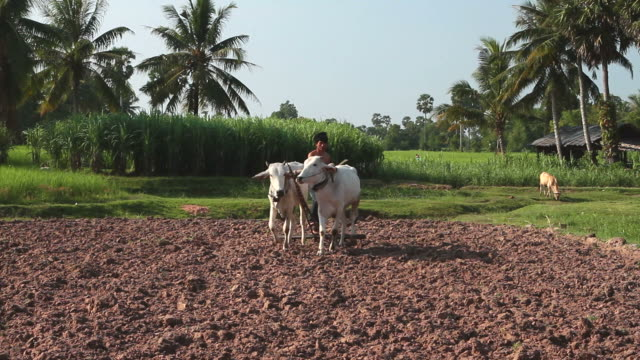 hd: traditional plowing in asia - wild cattle stock videos & royalty-free footage