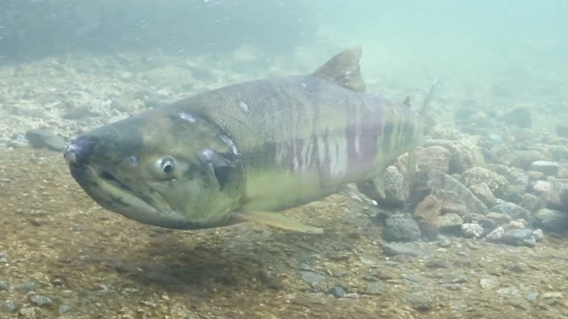 """traditional salmon """"combination net fishing"""" returned to the kidogawa river for the first time in five years as fishermen hauled in about 120 of the... - freshwater stock videos & royalty-free footage"""