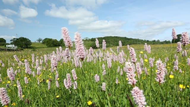 traditional wildflower hay meadows in windermere, lake district, uk. - ranunkel stock-videos und b-roll-filmmaterial