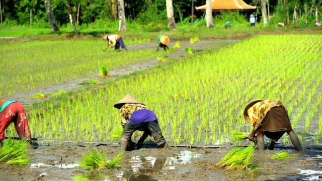 traditional workers planting rice seedlings in fields java - indonesia stock videos & royalty-free footage