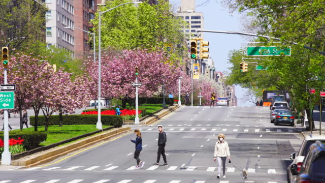 traffic disappeared from park avenue for impact of covid-19, which is surrounded by row of full-bloomed cherry blossoms in the weekend afternoon at uptown manhattan new york city ny usa on apr. 19 2020. - manhattan new york city stock videos & royalty-free footage