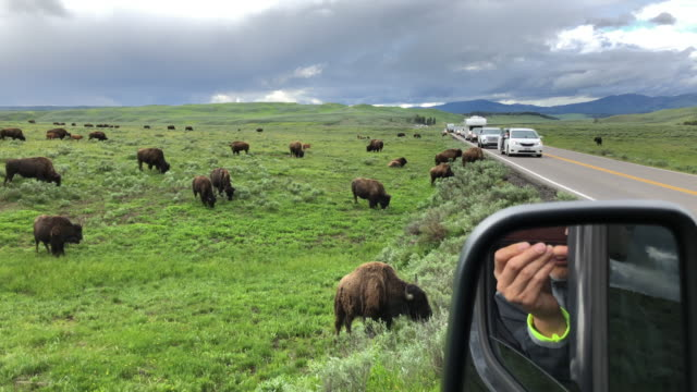 Traffic jam and tourist photographing bisons crossing the road