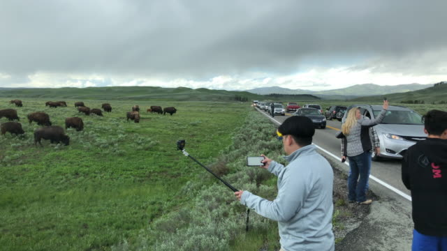Traffic jam and tourists photographing bisons crossing the road