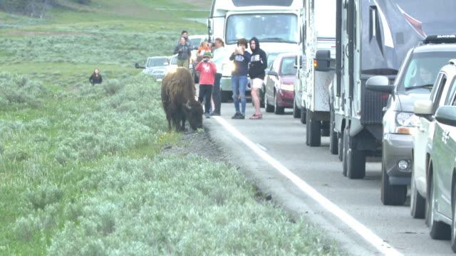 traffic jammed by bisons crossing the road - 美洲野牛 個影片檔及 b 捲影像