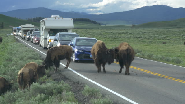 traffic jammed by bisons having sex on the middle of the road - wyoming stock-videos und b-roll-filmmaterial