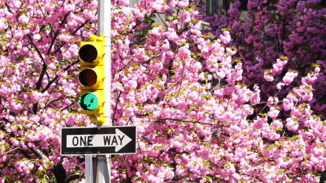 Traffic signal at front of full-blossomed rows of cherry blossom trees at Park Avenue in Manhattan New York City.