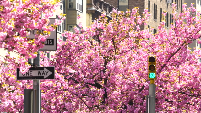 traffic signal at front of full-blossomed rows of cherry blossom trees at park avenue in manhattan new york city. - regeln stock-videos und b-roll-filmmaterial