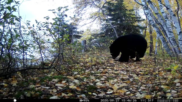 trail camera video of bear, coyote, white tailed deer with sound - audio available stock videos & royalty-free footage