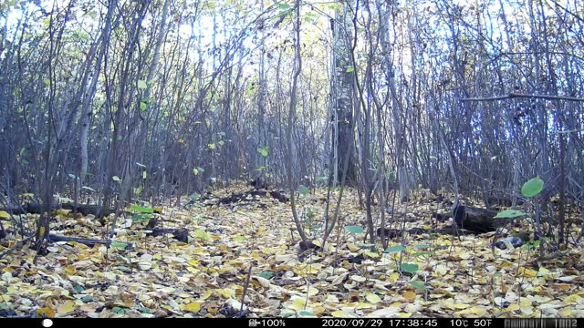 trail camera video of bear, coyote, white tailed deer with sound - camouflage点の映像素材/bロール