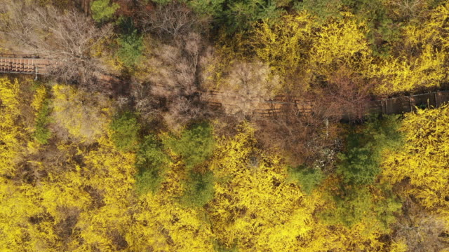 stockvideo's en b-roll-footage met trail surrounded by forsythia at eungbongsan mountain / seongdong-gu, seoul, south korea - tuinpad