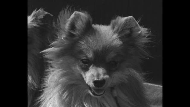 vídeos de stock e filmes b-roll de train filled with dogs and their owners comes to a stop; a woman holding chihuahuas vigorously waves / the dogs look from the train windows; a great... - cão miniatura