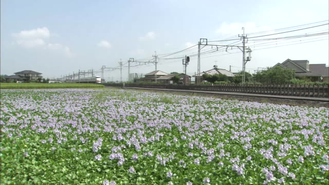 a train speeds past water hyacinth flowers growing in fallow fields in tochigi, japan. - hyacinth stock videos & royalty-free footage