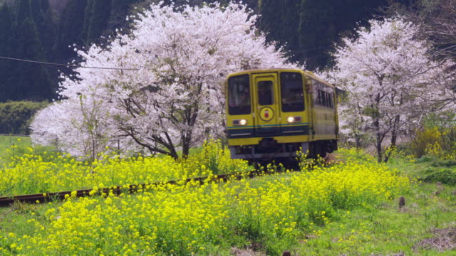 Train travelling and cherry blossoms in Chiba, Japan