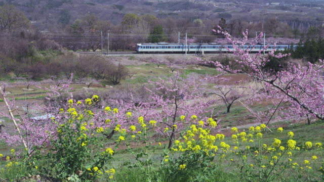 train travelling at rural area and peach trees - 郊外点の映像素材/bロール